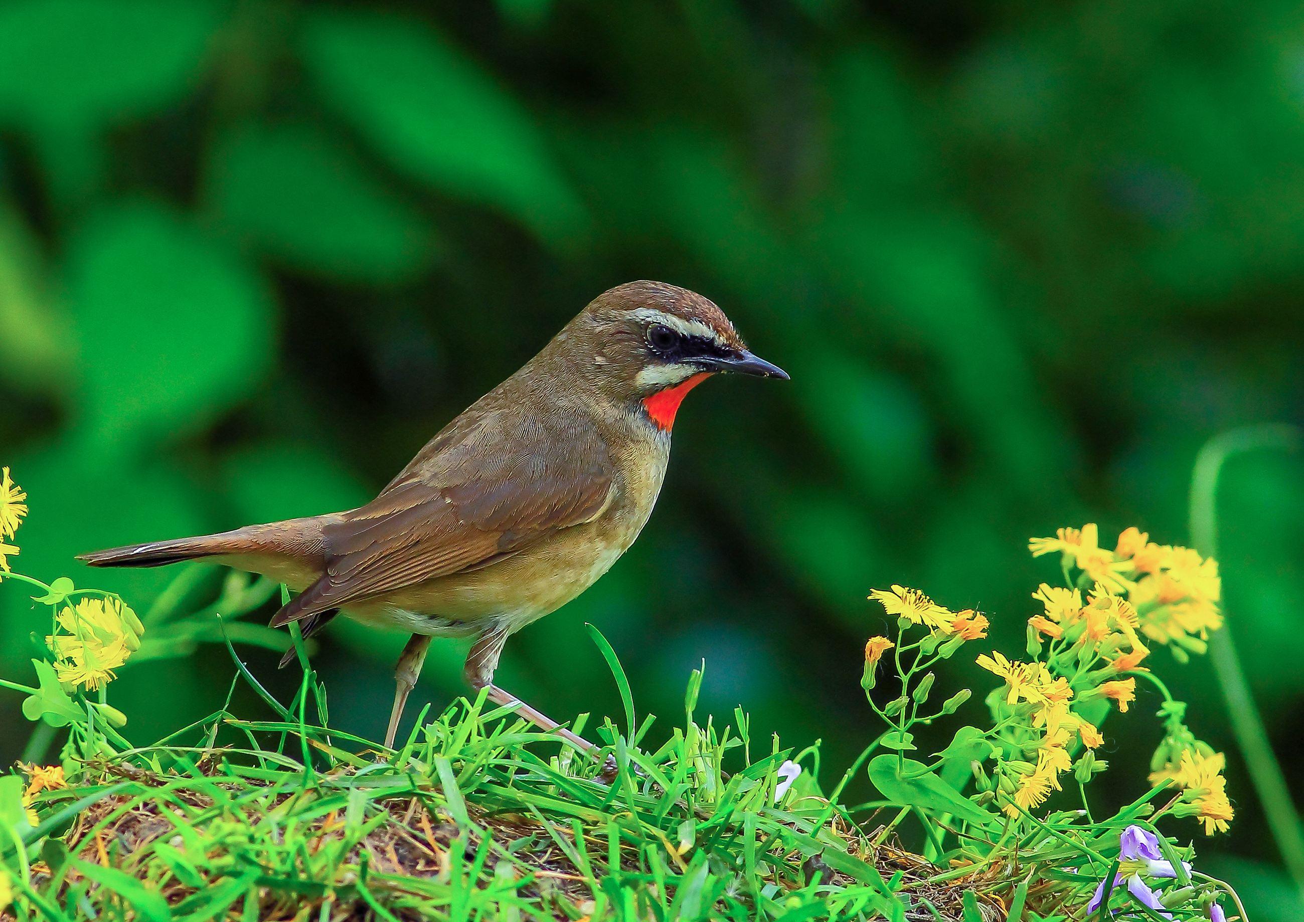 红靛颏好养吗 红靛颏鸟怎么养