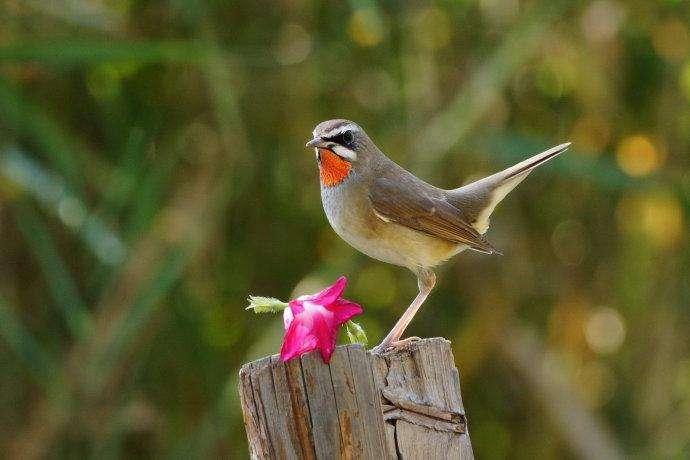 红靛颏鸟饲养 红靛颏鸟怎么饲养