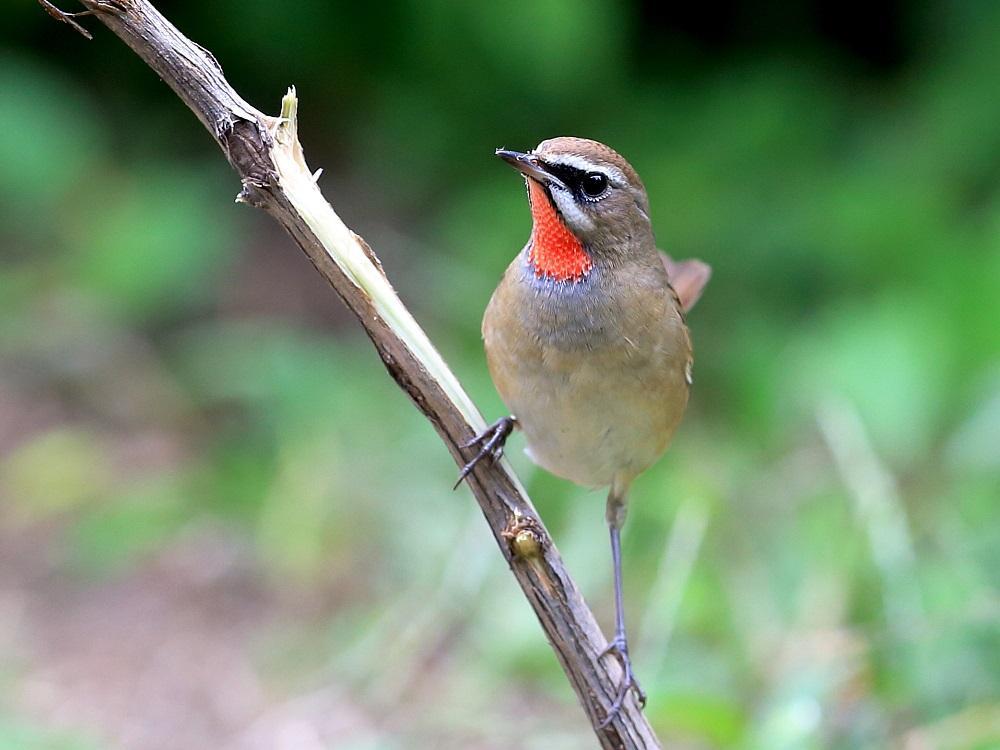 红靛颏鸟为什么老怕人 红点颏为什么老怕人