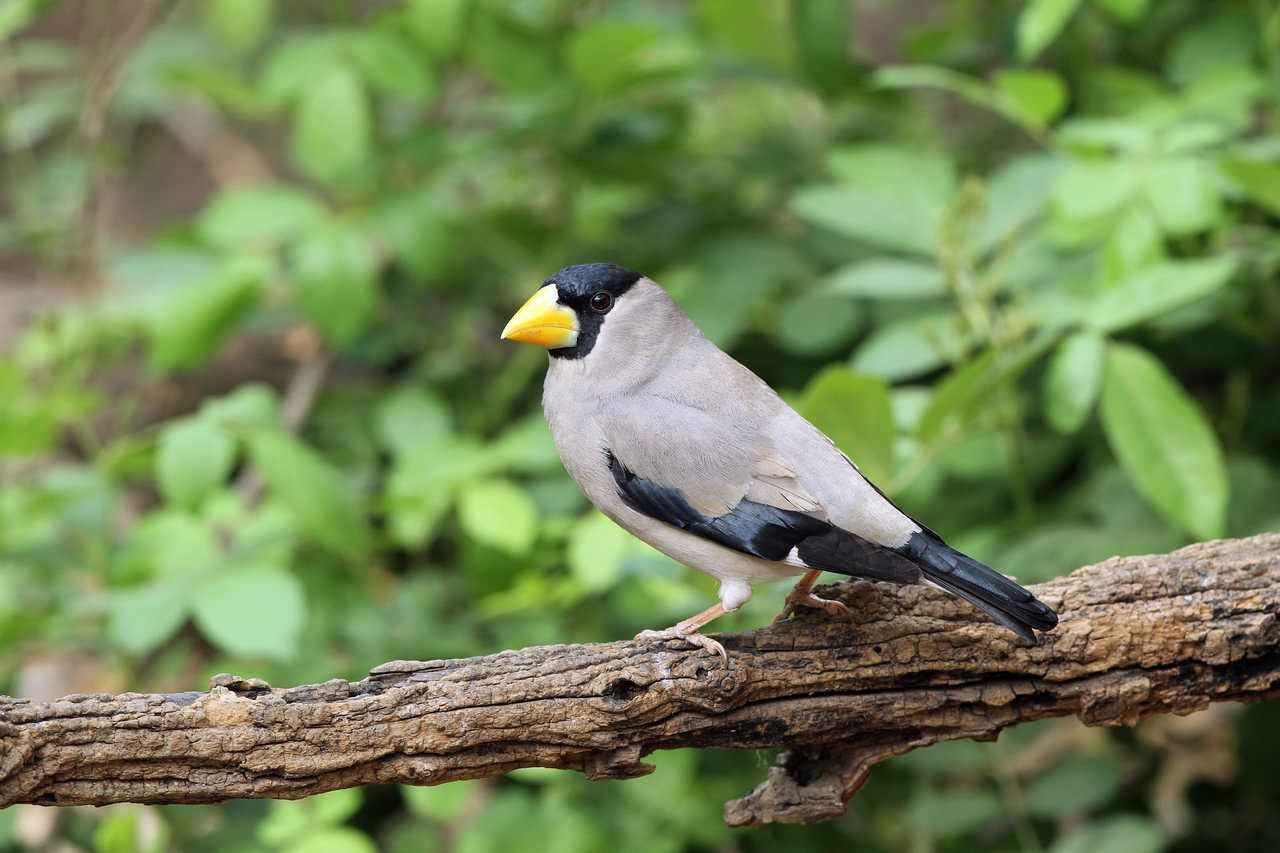 蜡嘴雀是保护动物吗 蜡嘴雀是不是保护动物