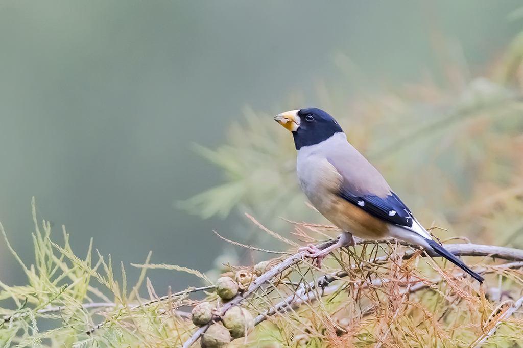 黑头蜡嘴雀是几级保护动物