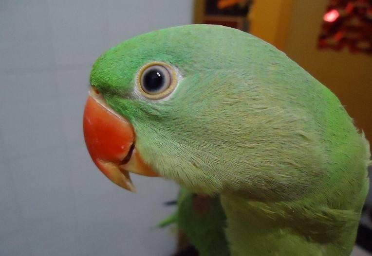 亚历山大鹦鹉喂养食物 亚历山大鹦鹉喂什么食物