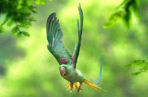 亚历山大鹦鹉幼鸟多少钱 亚历山大鹦鹉幼鸟价格多少