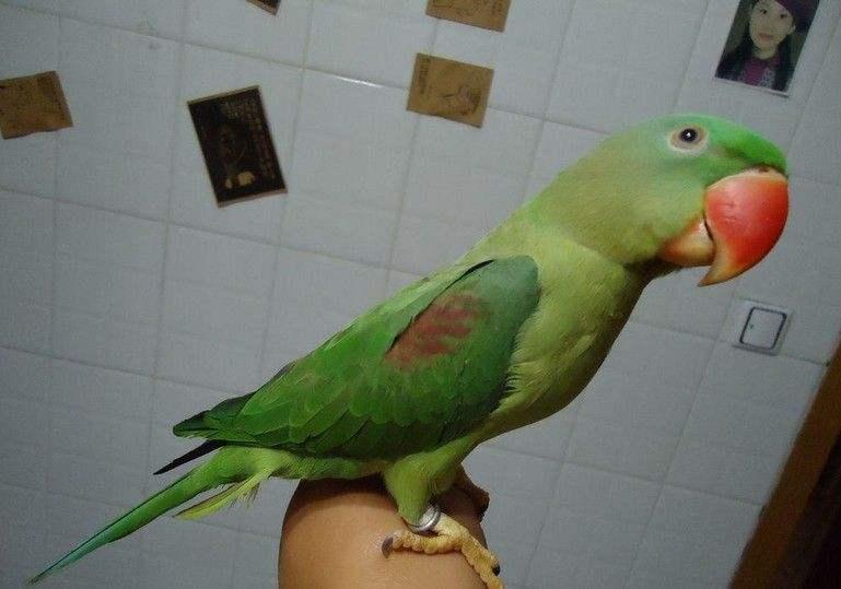 亚历山大鹦鹉能长多大 亚历山大鹦鹉能长到多大