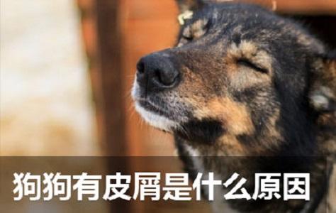 狗狗有皮屑是什么原因