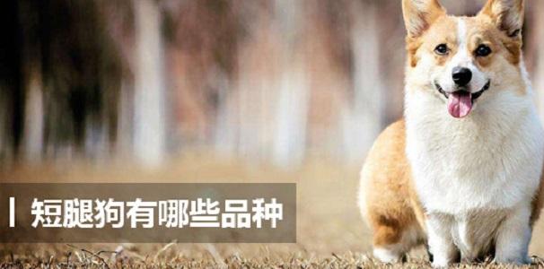 短腿狗有哪些品种 短腿狗的品种