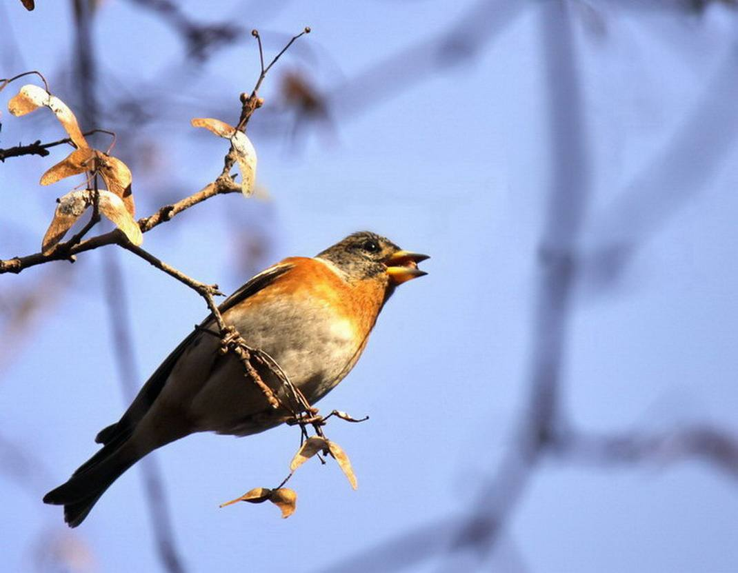 燕雀是什么鸟 燕雀是什么动物