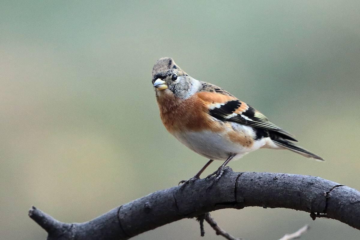 燕雀吃什么 燕雀吃什么为食