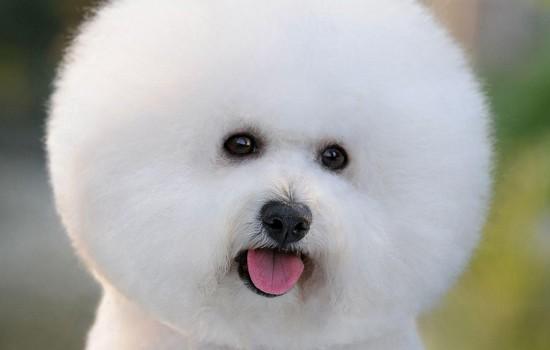 狗狗尿结石吃什么狗粮预防