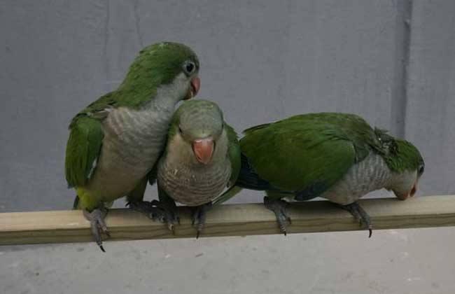 和尚鹦鹉种类 和尚鹦鹉的种类