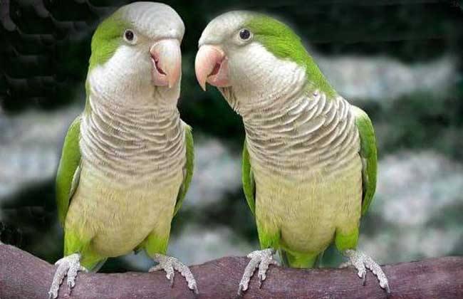 黄和尚鹦鹉多少钱 黄和尚鹦鹉多少钱一只