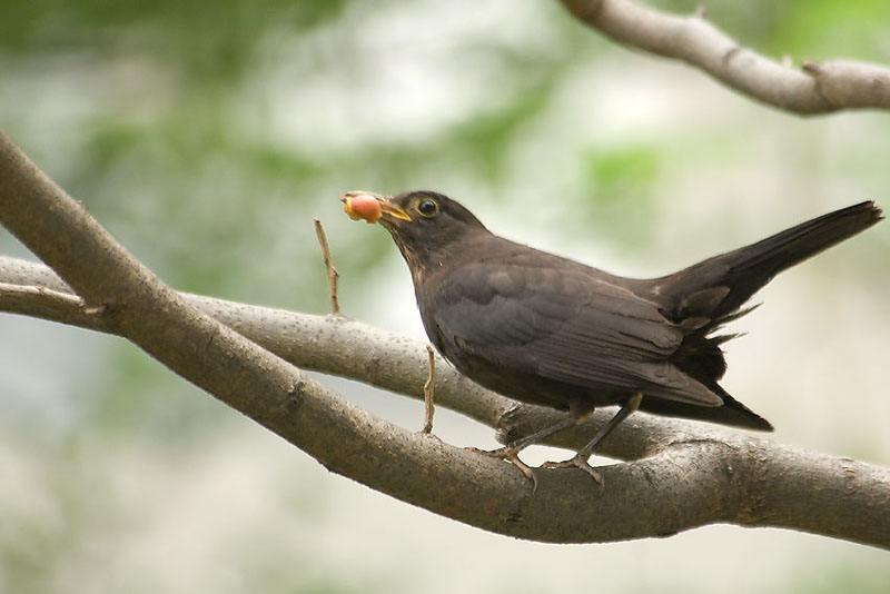 乌鸫吃什么食物 乌鸫吃什么
