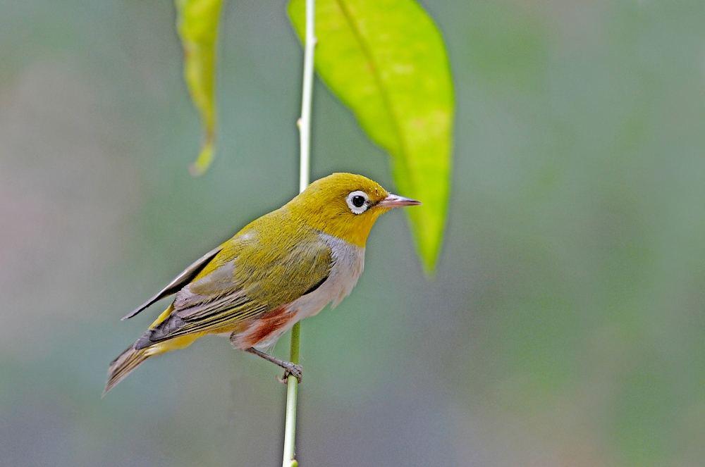 绣眼鸟的公母区分 绣眼鸟的公母如何区分