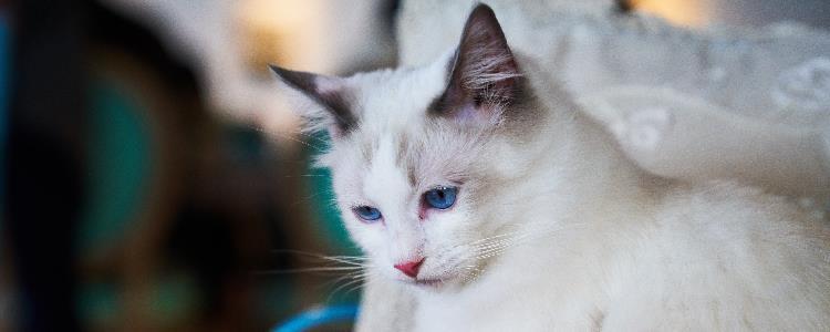 小猫的鼻子不湿润是怎么回事儿?