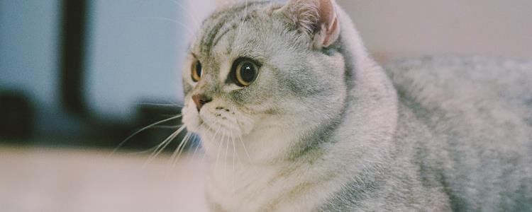 灰白色猫咪是什么品种