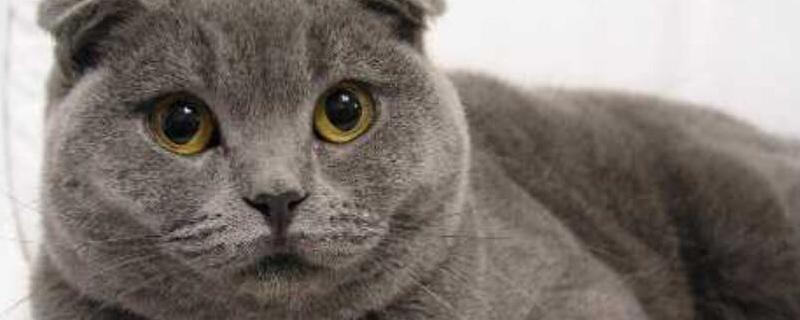 英短猫什么颜色贵
