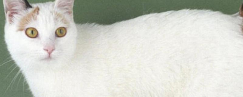 日本猫品种 日本猫品种有哪些