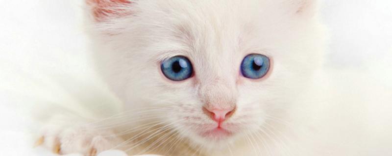 猫咪吐白沫没精神萎靡
