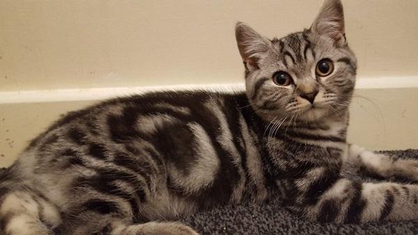 美短猫怎么看纯不纯