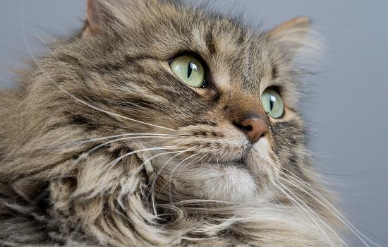 公猫不出门可以不绝育