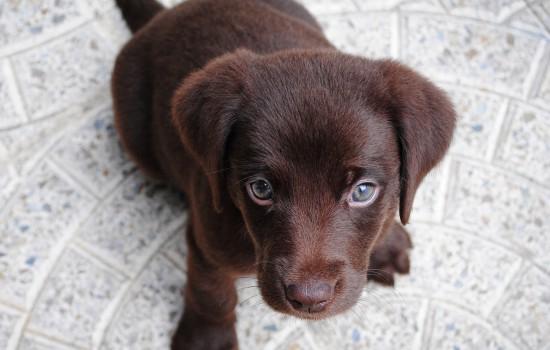 幼犬出门散步拖着不走是怎么回事
