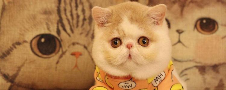 三花加菲猫值钱吗