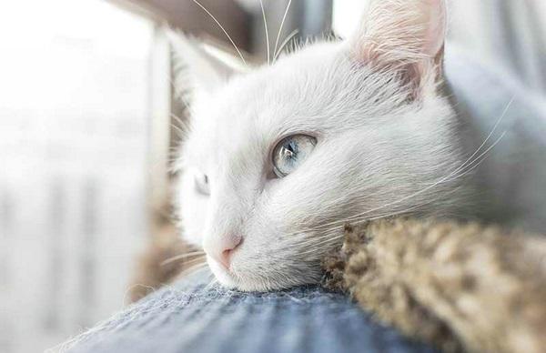 猫耳朵发炎可以自愈吗