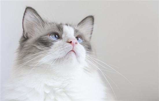 猫可不可以吃柚子