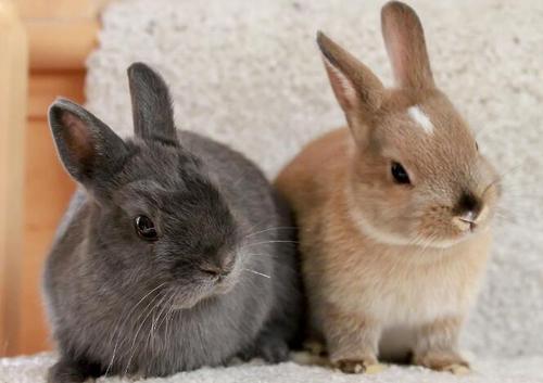 荷兰侏儒兔拉稀了怎么办