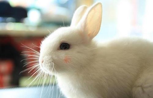 荷兰侏儒兔和道奇侏儒兔区别