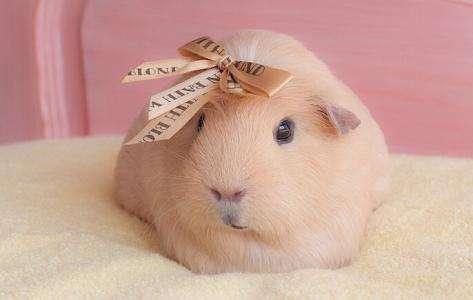 荷兰猪可以吃兔粮吗
