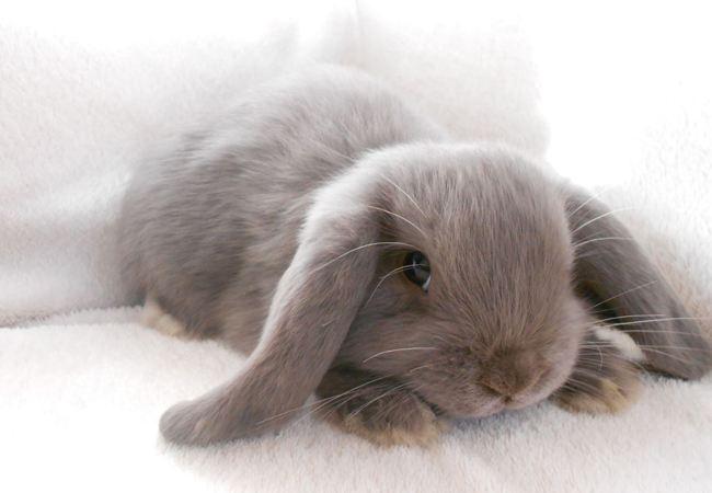 荷兰垂耳兔吃什么 荷兰垂耳兔吃什么草
