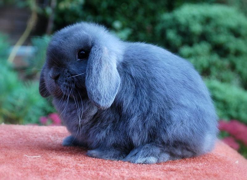 荷兰垂耳兔性格 荷兰垂耳兔的性格