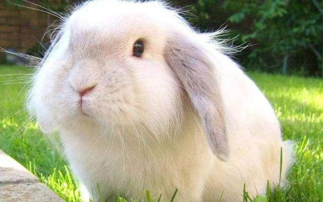 巨型安哥拉兔温驯吗