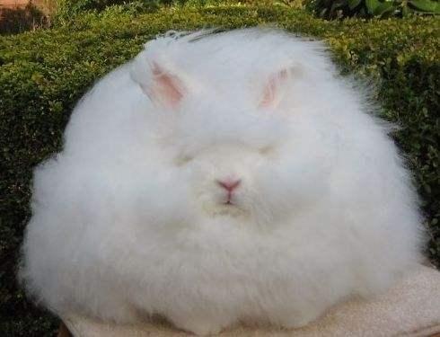 巨型安哥拉兔掉毛吗