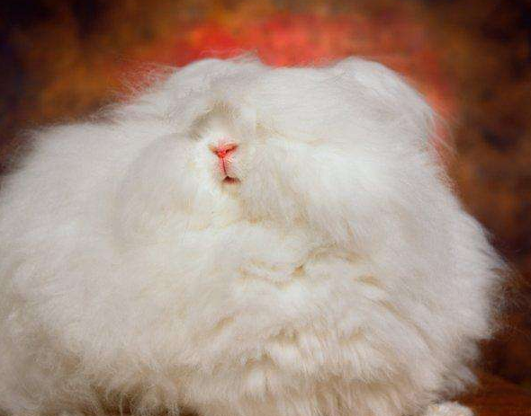 安哥拉巨型兔臭不臭