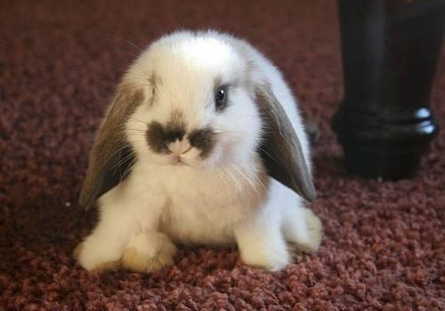 荷兰垂耳兔臭吗