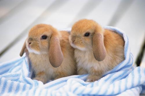 荷兰垂耳兔有味道吗