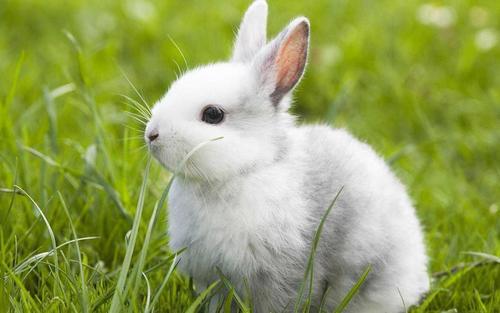 荷兰兔多少钱 荷兰兔多少钱一只