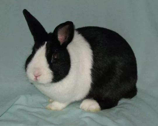 荷兰兔饲养 荷兰兔如何饲养