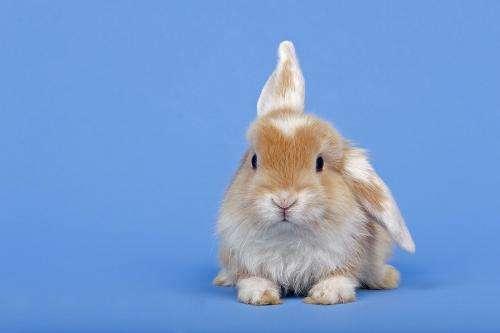 荷兰兔怎么养 荷兰兔喂养