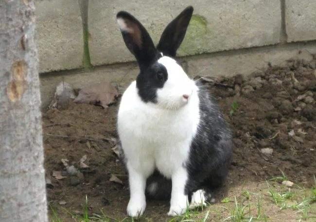 荷兰兔好养吗 荷兰兔好不好养