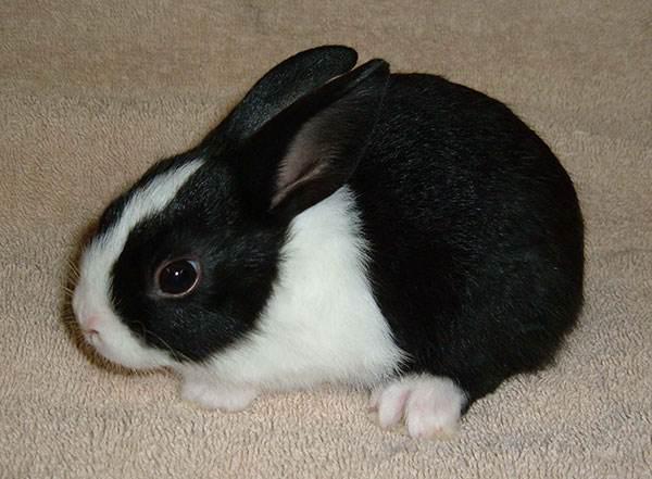 荷兰兔聪明吗 荷兰兔聪不聪明