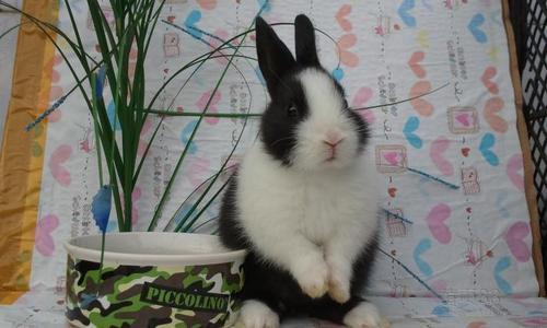 荷兰兔咬人吗 荷兰兔咬不咬人