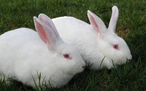海棠侏儒兔能长多大 侏儒海棠兔会不会长大