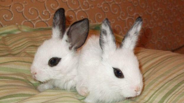 海棠兔如何分辨侏儒 怎么区分侏儒海棠兔
