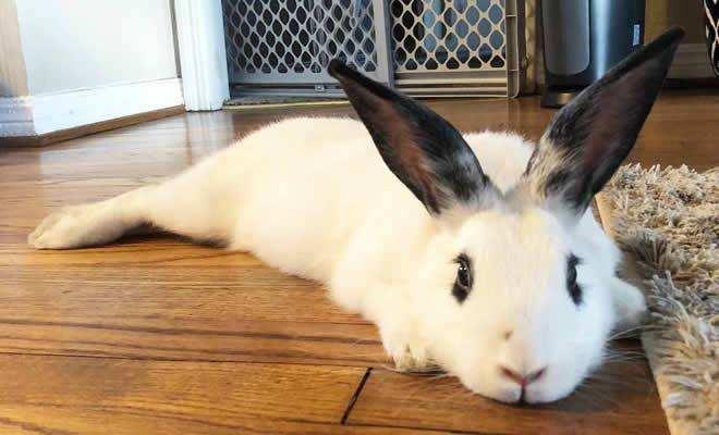 侏儒海棠兔的价钱 侏儒海棠兔价钱是多少