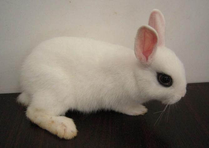 海棠兔能长多大 海棠兔多长