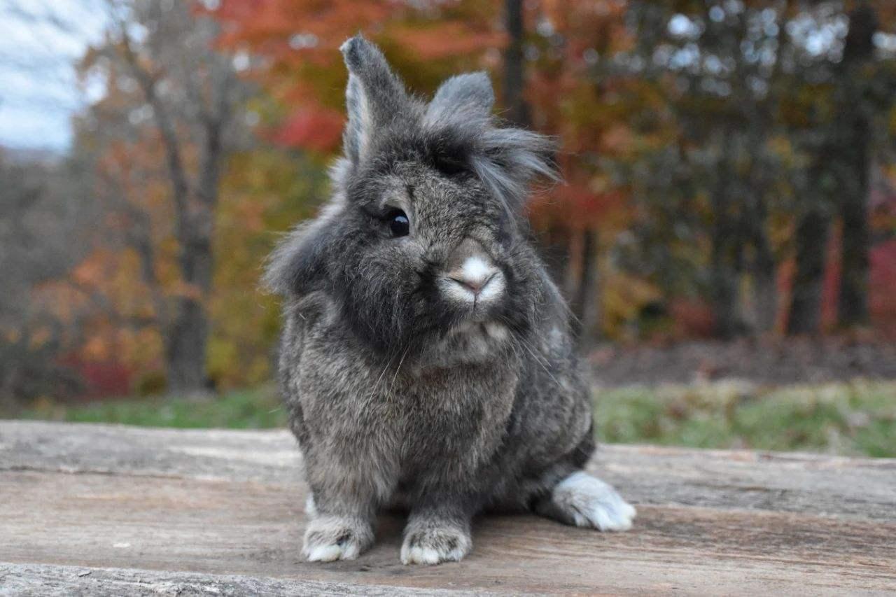 法国垂耳兔吃什么 法国垂耳兔怎么养
