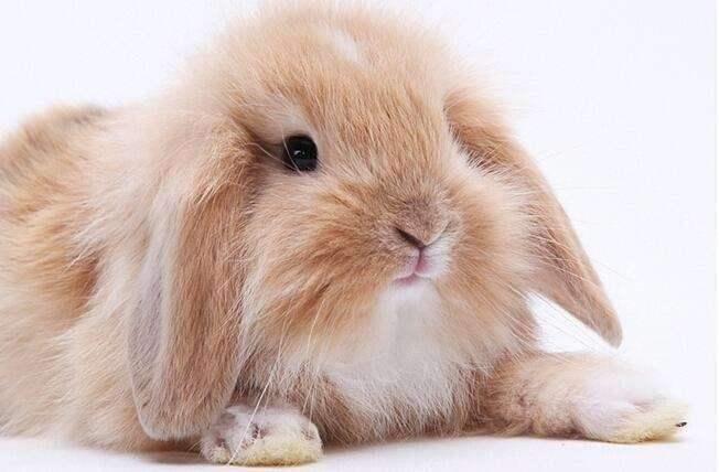 法国垂耳兔饲养管理 法国垂耳兔好养吗